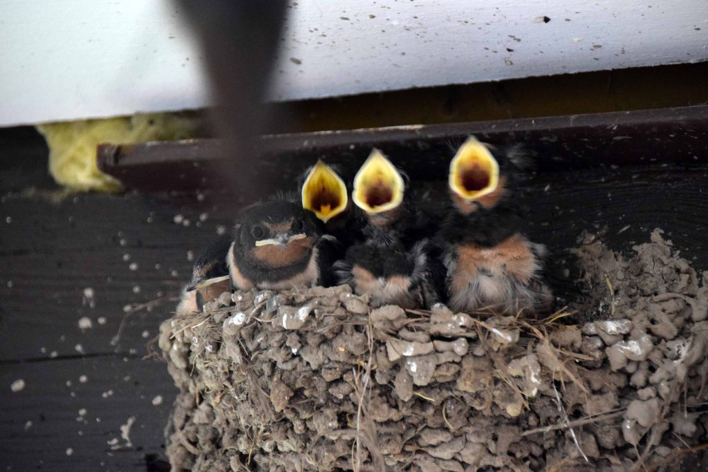 Junge Schwalben im Naturpark-Partner-Hotel